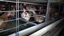 Dénonciations des conditions d'élevage, les nouveaux scandales de la maltraitance animale dans Enquête Exclusive dimanche à 23:00 sur M6