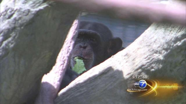 LP Zoo research: Chimps have human-like personalities