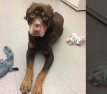 Animal Shelter Offers $11,200 Reward After Rottweiler Is Found With Ears, Nose and Tail Cut Off