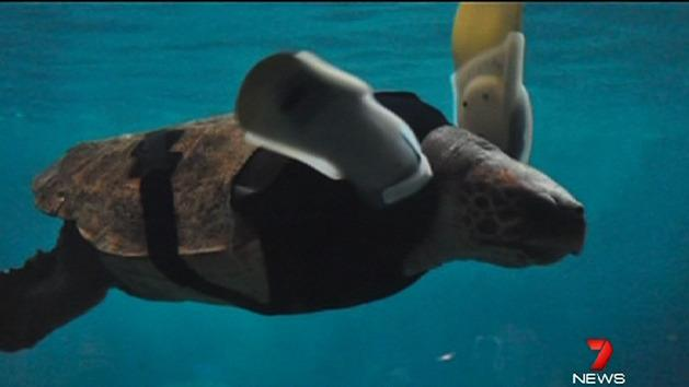 Turtle fitted with prosthetic limbs
