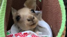 The battle to stop the horrific fate awaiting orphaned joeys