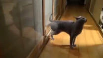 Cat Learns To Knock On Doors