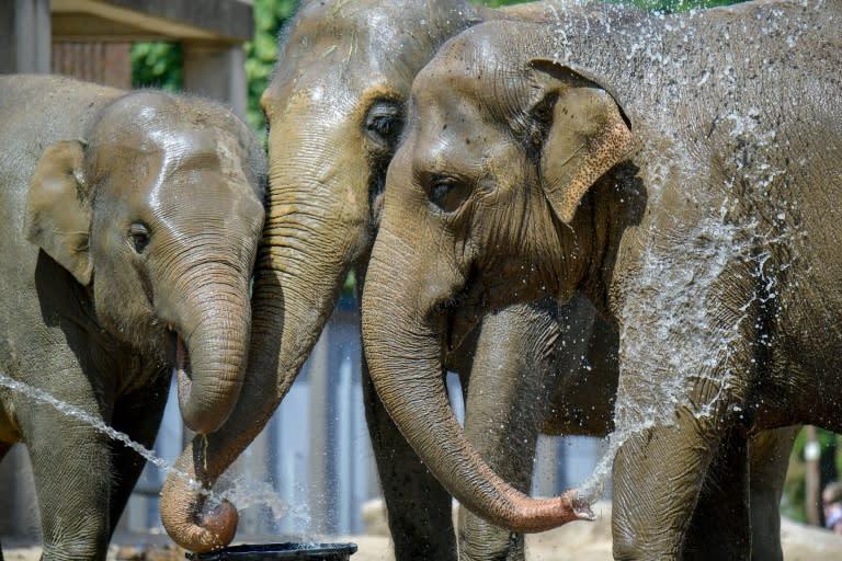 Asian elephants on June 25, 2019 in Berlin keep their cool (AFP Photo/Tobias SCHWARZ)