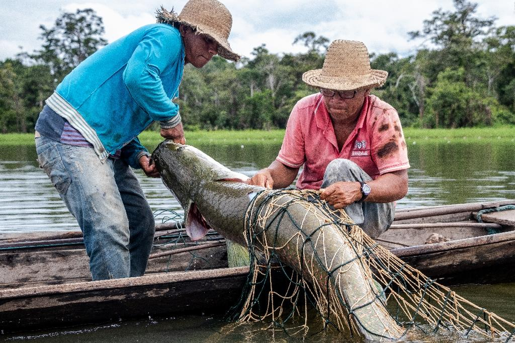 Fishermen capture a large Pirarucu fish from the water at the Amana Sustainable Development Reserve, in Amazonas State, northern Brazil (AFP Photo/BERNARDO OLIVEIRA)