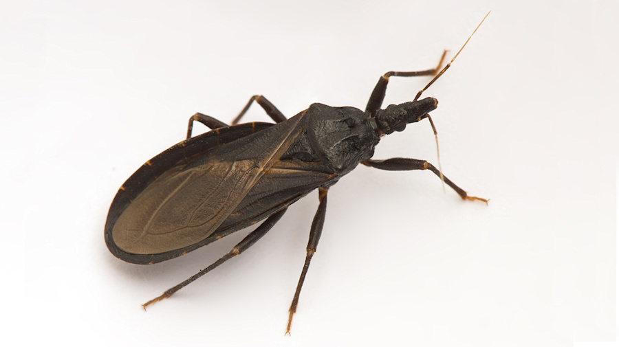 Del. girl was bitten by deadly 'kissing bug': CDC