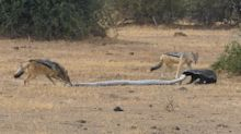 Incredible footage of honey badger escaping python's grip before fighting off pair of jackals
