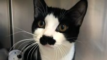 RSPCA dubs injured cat 'Hercule Poirot' due to his perfect black moustache