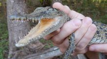 Sad origins of 'distressed' crocodile found by family in suburban park