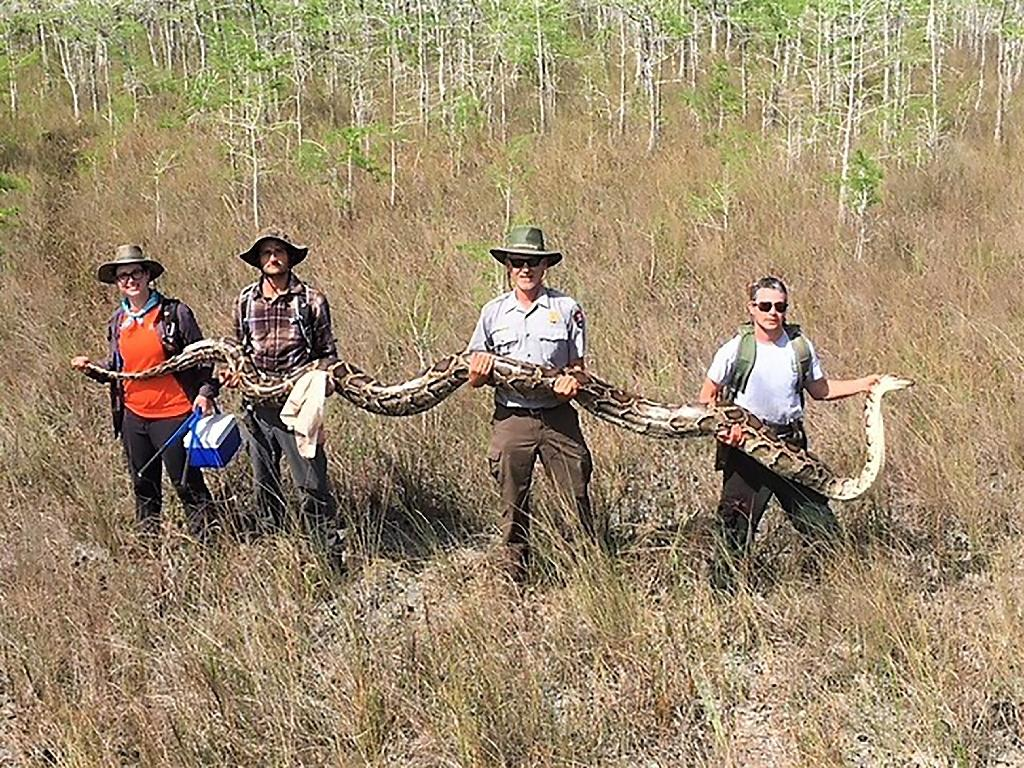 A team with the Big Cypress National Preserve in Ochopee, Florida holds a female python measuring over 17 feet long and weighing 140 pounds, with 73 developing eggs