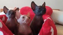 Sphynx cats display amazing synchronicity