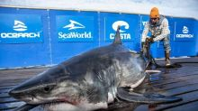 U.S. shark-research group gets federal exemption for N.S. expedition