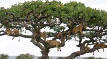 Ein Baum, zehn Löwen: Unglaubliche Bilder aus der Serengeti