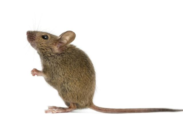 Stem cell therapy makes sterile mice fertile again