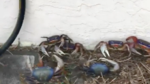 Land crabs infest Florida man's house after heavy rainfall