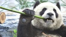 Other mammals lose out in panda conservation drive