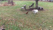 Loving dog plays with chicken best friend