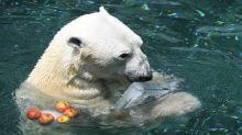 S. Korea's last polar bear dies ahead of British retirement