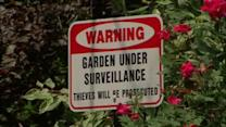 Flower thief pilfering plants in Westchester