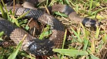 New exotic invasive snake captured in Everglades National Park. It's likely a released pet