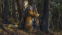 El abrazo de un tigre que coronó al Fotógrafo de Vida Silvestre del Año (y otras imágenes ganadoras)