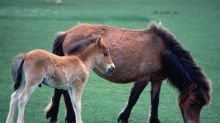 How to stop Dartmoor ponies dying out? Eat them, says charity