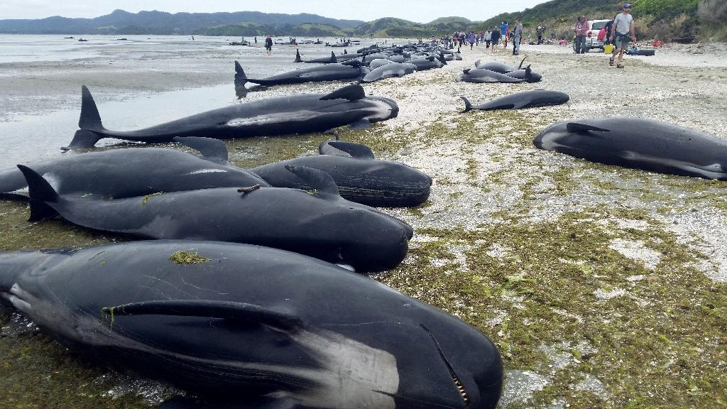 An estimated 666 pilot whales were stranded in two pods at Farewell Spit, on the northern tip of New Zealand's South Island (AFP Photo/STR)
