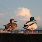 Coronavirus: what the lockdown could mean for urban wildlife