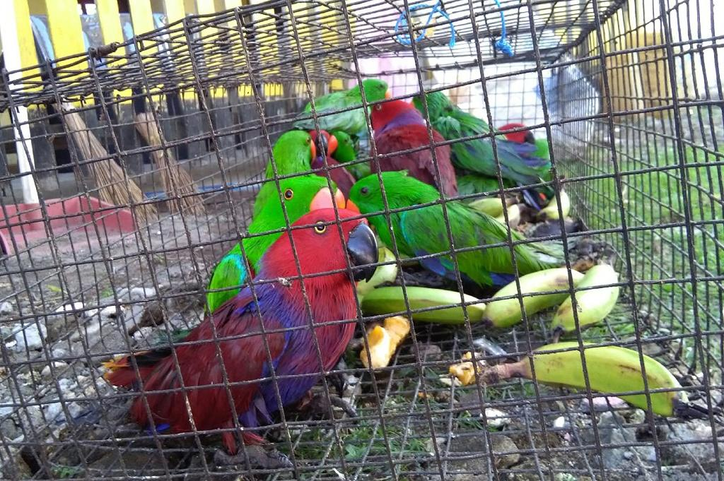 Exotic birds, like the eclectus parrots seen here, are usually poached and trafficked by smuggling gangs for sale as pets and as status symbols (AFP Photo/Handout)