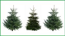 Christmas trees: Where to buy your real fir this year