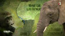 Eléphants de forêt, gorilles, buffles... en danger : éco-gardes contre trafiquants au cœur de l'Afrique
