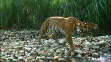 WWF: Nepal könnte Ziel der Verdopplung seines Tigerbestands bald erreichen