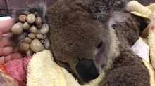 'No fight left': Devastating photos show tick-ridden koala's excruciating last moments