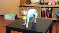 Dog Wearing Duck Muzzle Falls off Coffee Table