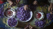 FOTOS | El arte de la cosecha del azafrán en Marruecos