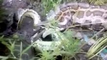 Snake slithers off after feasting on jackal five times its size