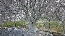 Descubren el árbol más tétrico del mundo por casualidad
