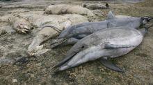 Dauphins échoués sur nos côtes : la France dans le viseur de Bruxelles et des associations
