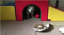 Funny Golden Retriever puppy thinks he's lost