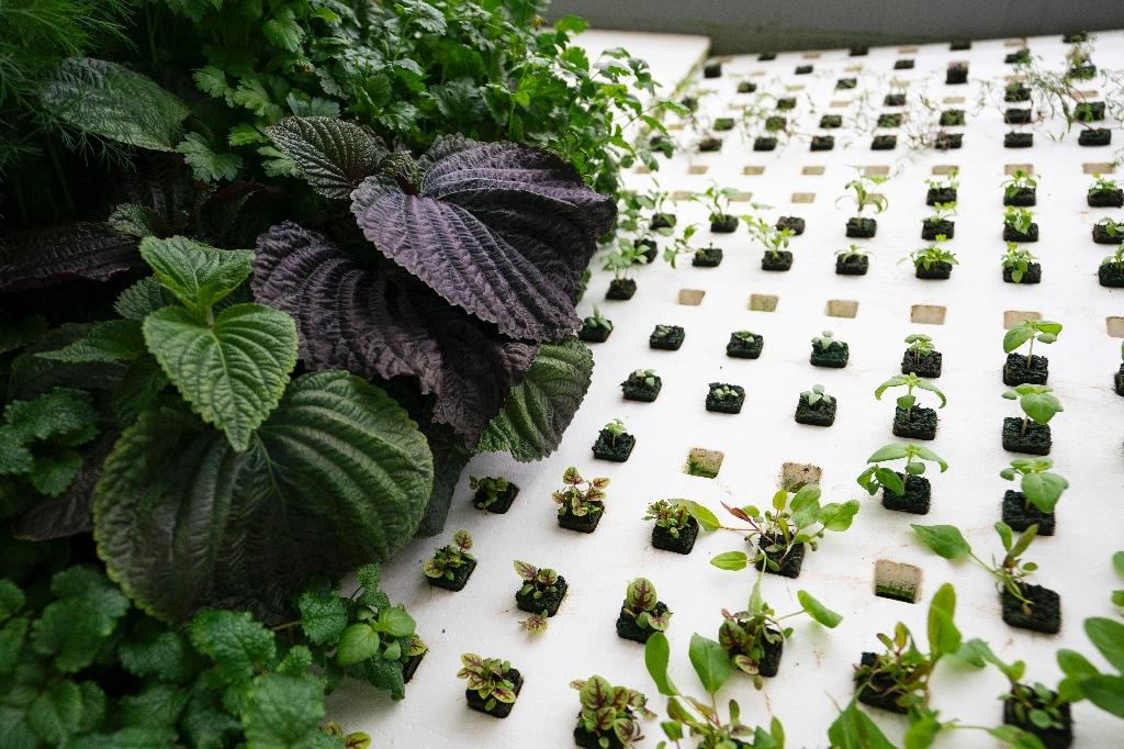 Greens are grown at Bowery Farming, a vertical farming site founded in 2015 (AFP Photo/Don EMMERT)