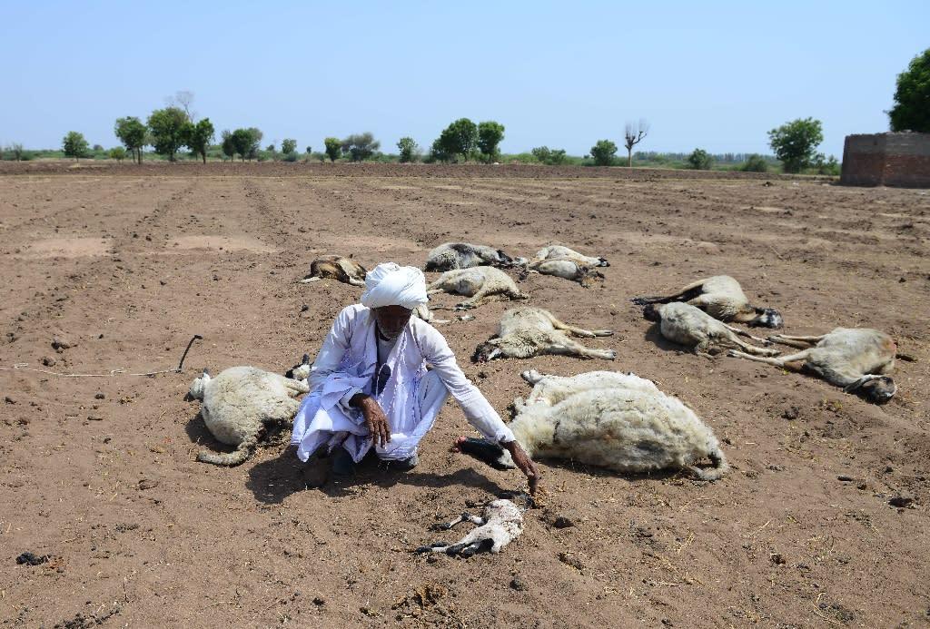 The drought and heatwave have hit farmers like shepherd Ranabhai, kneeling among his dead sheep in Ranagadh village, Gujarat (AFP Photo/SAM PANTHAKY)
