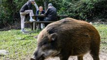 All a boar-d! Wild pig takes Hong Kong subway journey