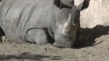 French zoo outraged after visitors use nails to scratch their names into rhino's back
