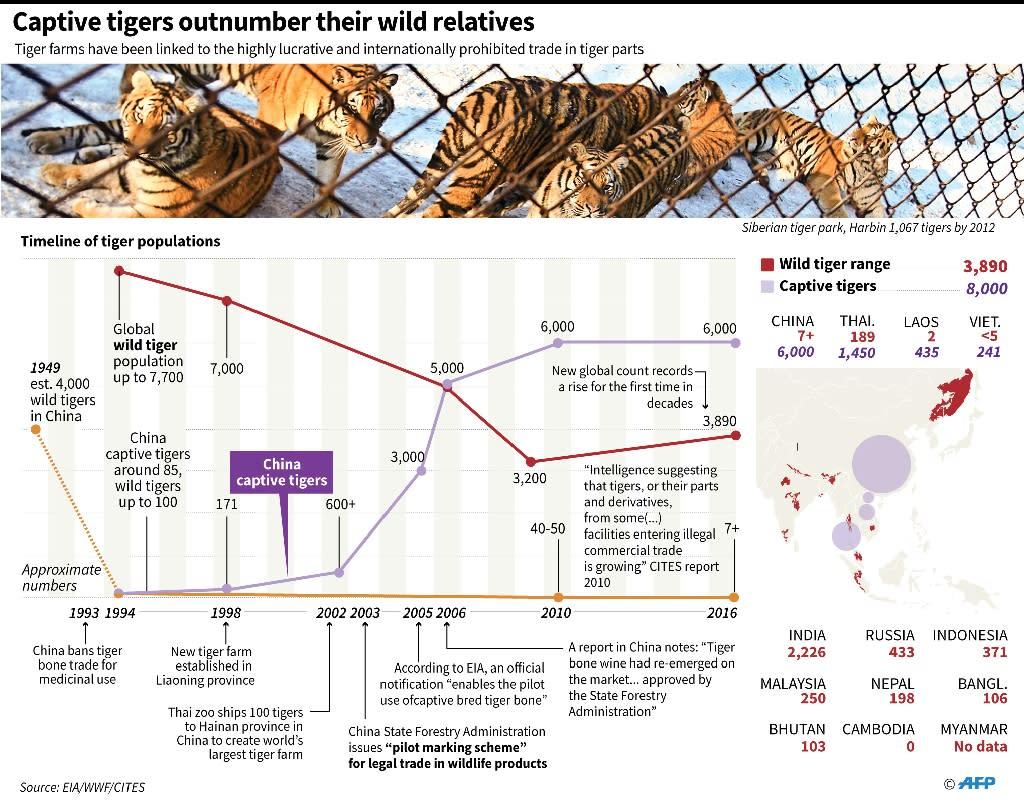 Captive tigers outnumber their wild relatives (AFP Photo/John SAEKI)
