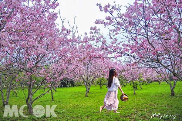 新社月湖莊園種植上百株櫻花樹 (圖片提供/molly888666)
