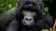Espagne: un gorille attaque une gardienne dans un zoo à Madrid