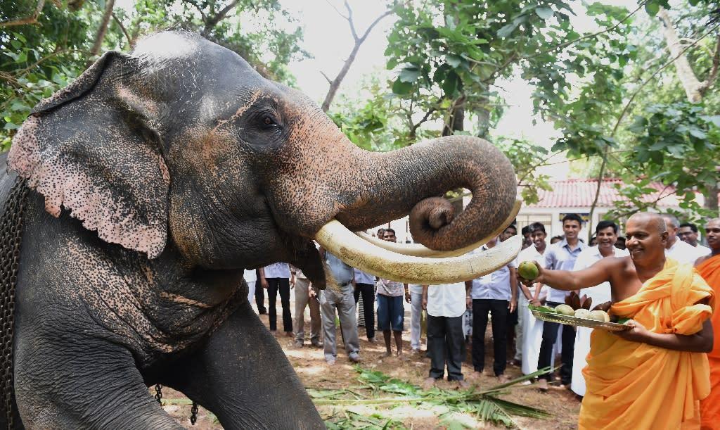 A buddhist monk feeds fruits to an elephant at a Buddhist temple in Sri Lanka (AFP Photo/Ishara S.Kodikara)