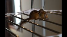 Smart chipmunk overcomes obstacles for treats