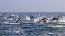 Dolphin Stampede Captured Near Newport Beach Sightseeing Tour Boat