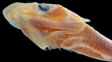 What Has 1,800 Teeth and a Suction Cup? A New Clingfish Species