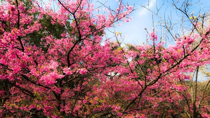 賞櫻季又到,櫻花點影先最靚?